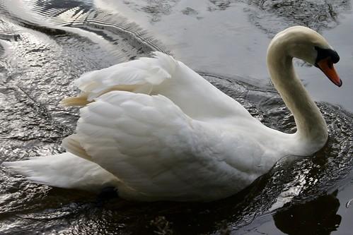 Swan by john47kent