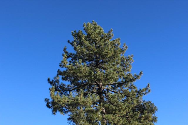 big pine.