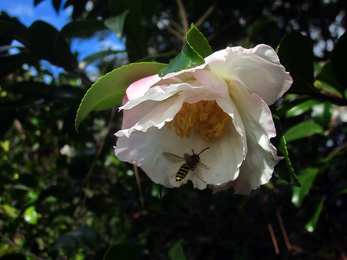 Camellia and wasp