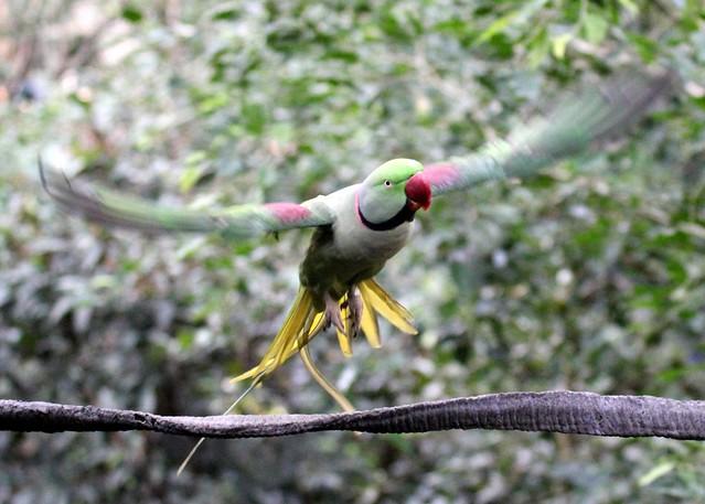 Alexandrine Parakeet (Psittacula eupatria) in flight - Edward Youde Aviary, Hong Kong Park