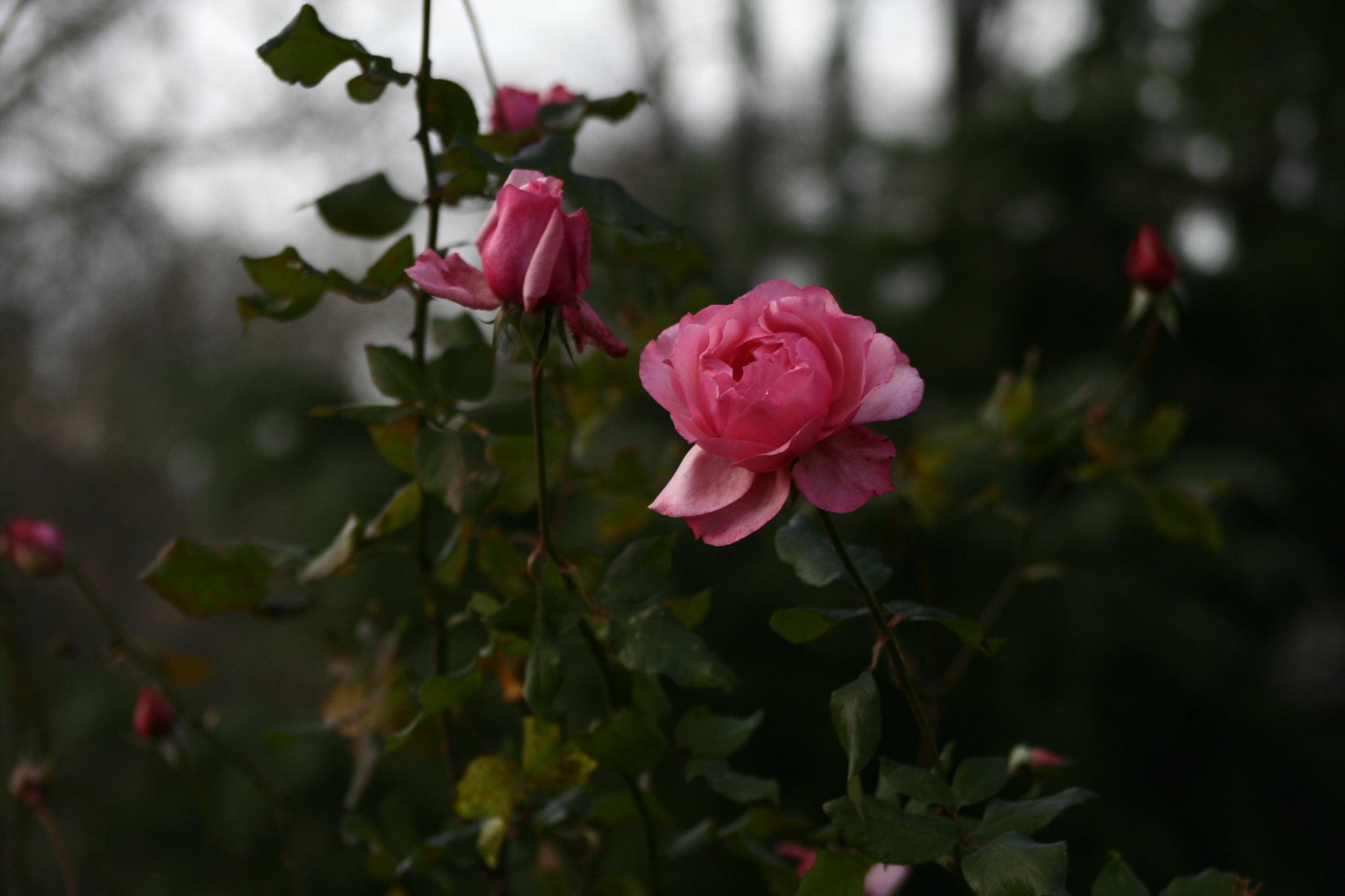 Roses in Ihlamur Kasrı, Istanbul