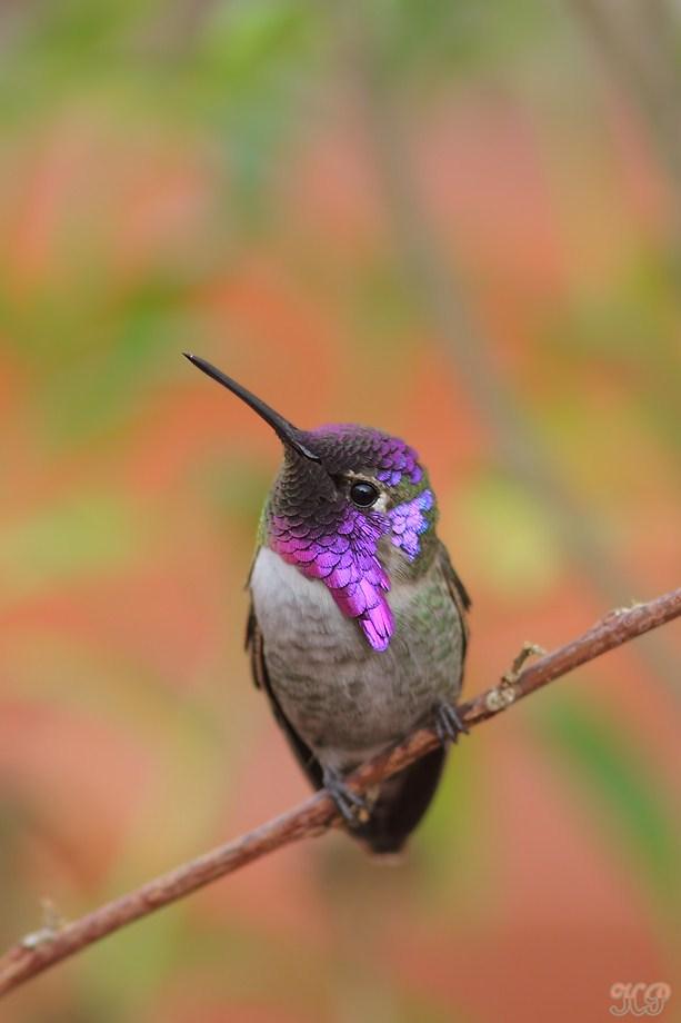 Costa's X Anna's Hybrid Hummingbird 010613