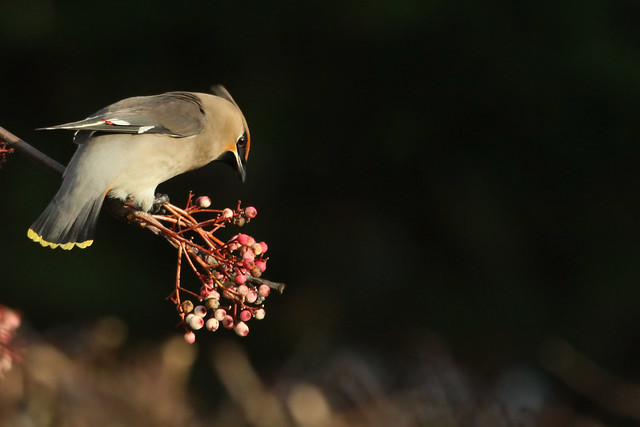 Waxwing- In the Sun