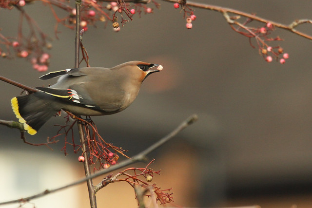 Waxwing- Berry Nice!