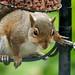 Squirrel at Blaenfforest