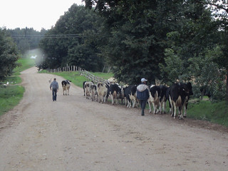 cows getting home