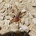 Small photo of Camel spider Solifugae Gluvia dorsalis