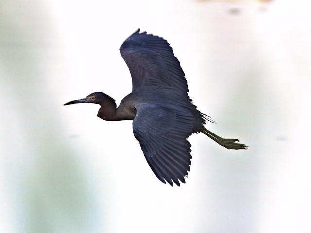 Little Blue Heron COREL 20130128