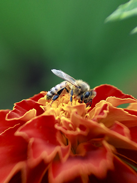 Honeybee on the French Marigold