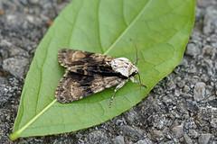 HolderAlder Moth, St Bees, Cumbria, England