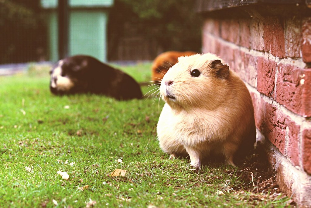 Guinea Pig posing for the camera