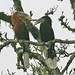 Small photo of Rufous-necked Hornbill (Aceros nipalensis)