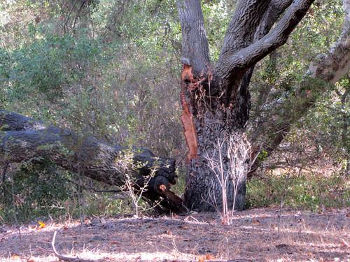 slit oak