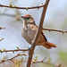 Rufous-fronted Thornbird - Photo (c) Ron Knight, some rights reserved (CC BY)