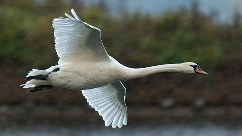 Mute Swan-flight in the rain