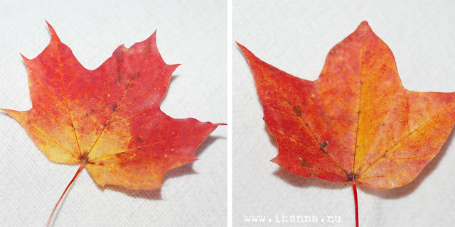 Maple Colours