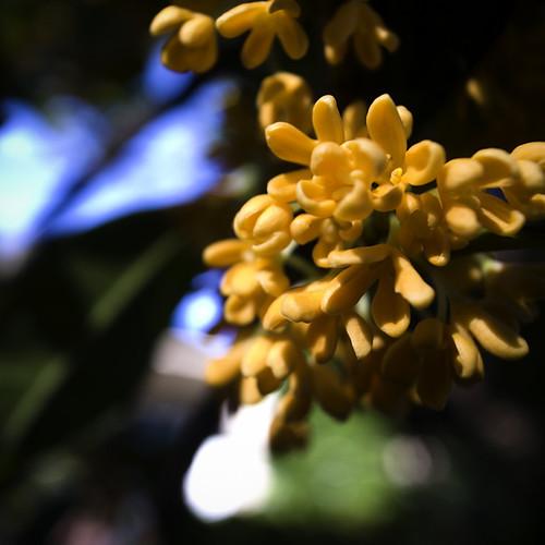 Autumn Scent, 金木犀, Orange Osmanthus
