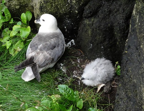 Seabird and Chick
