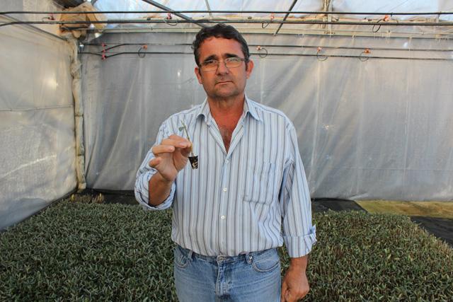 Un vivero de plantas de olivo localpaper for Viveros de olivos