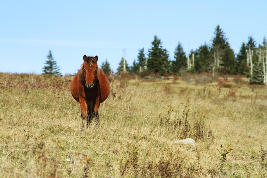 grayson_highlands_pony1