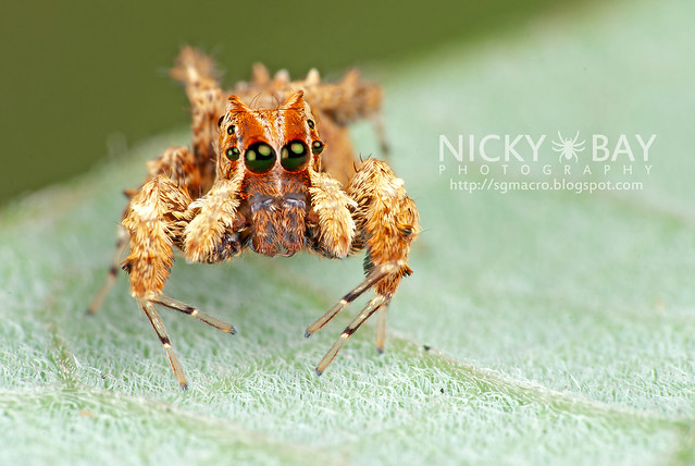 Jumping Spider (Portia sp.) - DSC_4344