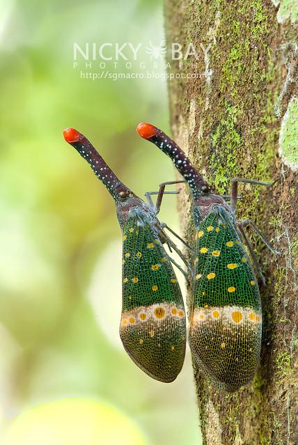Lantern Bug (Pyrops pyrorhyncha) - DSC_4306