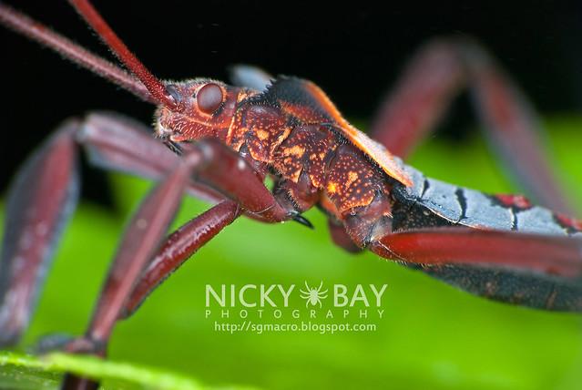 Squash Bug? (Coreidae?) - DSC_2558