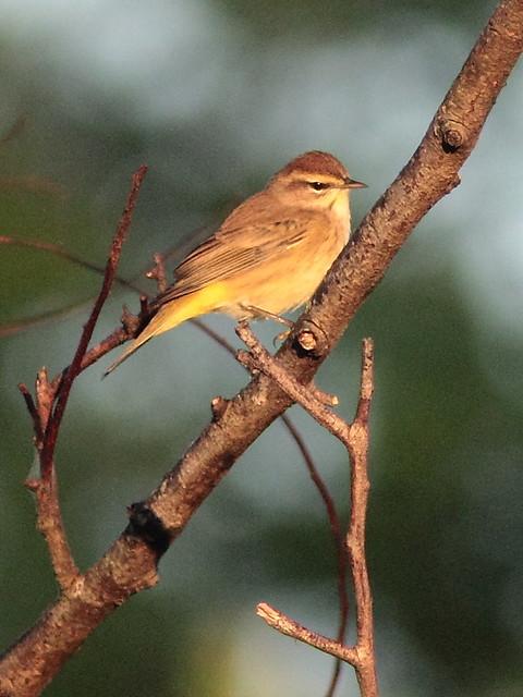 Palm Warbler 20121020