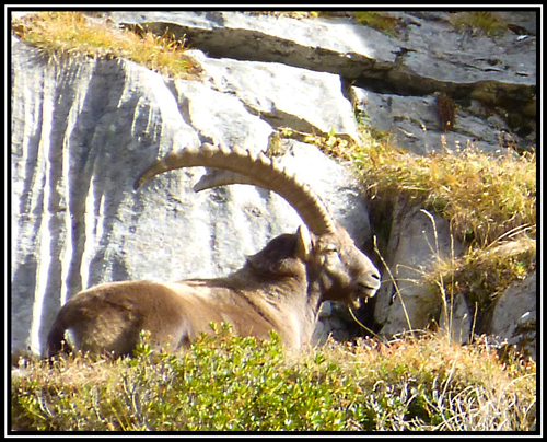 A large male ibex enjoying the sunshine