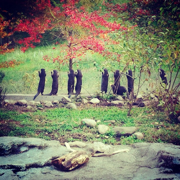 Eight otters standing up watching their keeper, in a green-grassed enclosure with autumn-leaved trees.
