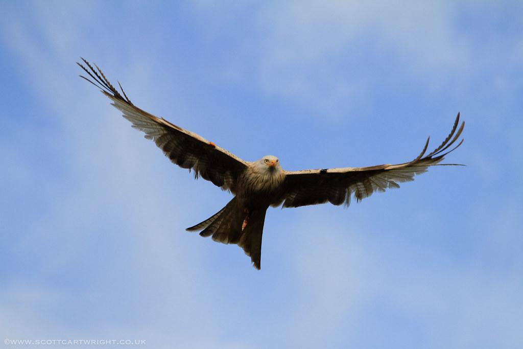 Old Red Kite In Flight