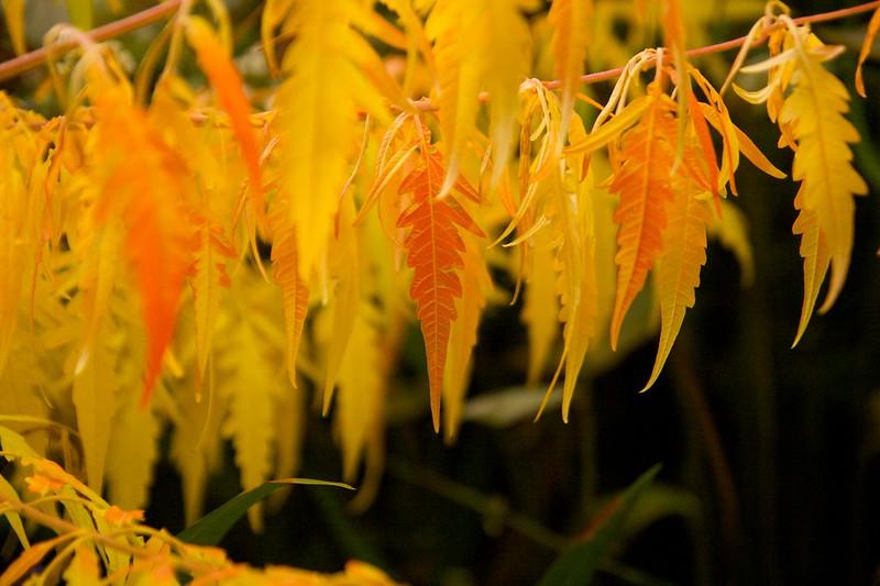 sumac foliage  2366