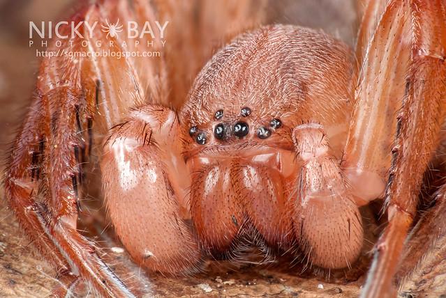 Huntsman Spider (Sparassidae) - DSC_1153
