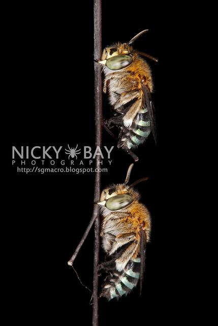 Sweat Bees (Amegilla sp.?) - DSC_0907