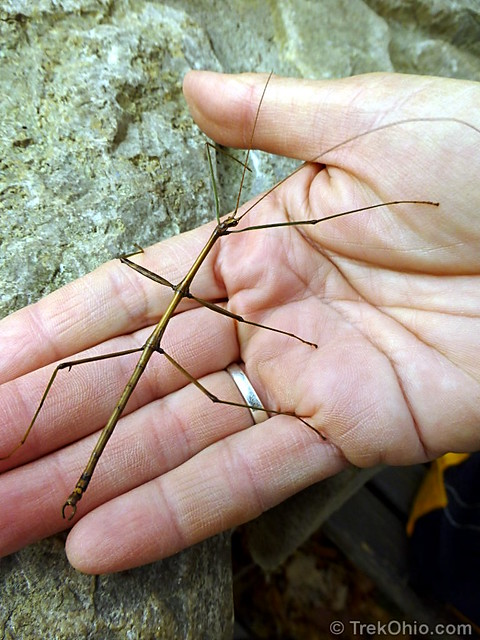 Walkingstick insect (Diapheromera femorata)