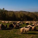 Sheeps..