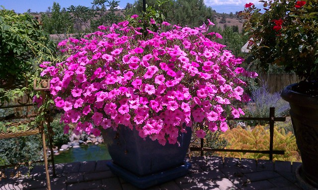Wave petunia as a container plant wow flickr photo - Wave petunias in containers ...
