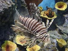 Lionfish, Phuket Aquarium