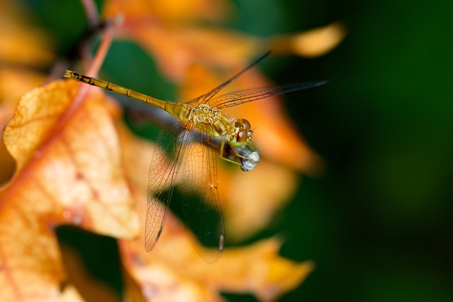A juvenile Autumn Meadowhawk at Sherburne National Wildlife Refuge.  This photo was taken in July; the leaves in the background had changed color prematurely.  Autumn Meadowhawks do fly when the leaves are changing, but by that time the juvenile yellow color has changed to red.