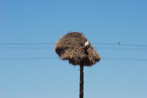 Philetairus socius nest, Namibia