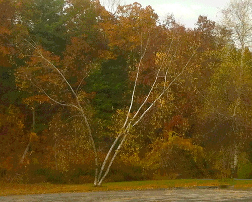 Birch Tree in Nashua (Posterized and Digitally Modified Photo) by randubnick