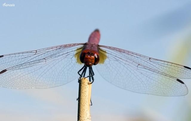 Trithemis annulata_male