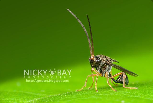 Eucharitid Wasp (Eucharitidae) - DSC_8102