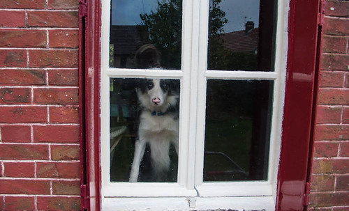 Border collie spotting the postman