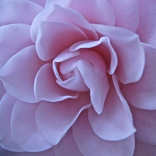 Weekly Photo (1/52) Close-up of a camelia bloom by Kristen Koster on Flickr