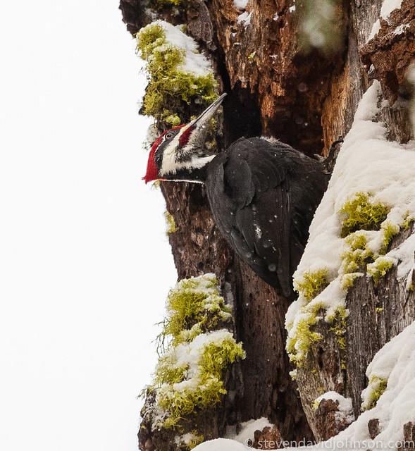 Pileated woodpecker and lichen, Lincoln, Oregon