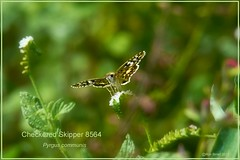 Checkered Skipper Texas butterfly photography by Ron Birrell; DSC_8564
