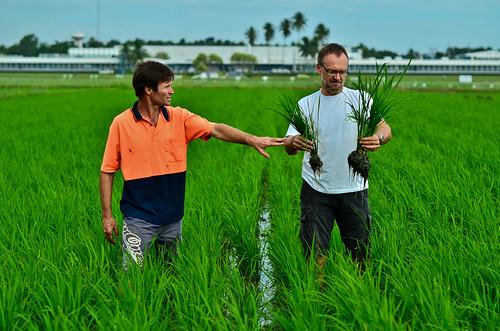 Achim Dobermann (rt) and Leigh Vial (lt) assess their rice plants