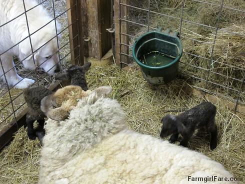 Lambing season begins! (13) - FarmgirlFare.com
