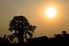 Sunrise over African Baobab Tree - Orchha (Madhya Prades)